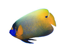 Bluecheeked Angelfish Zdjęcia Stock
