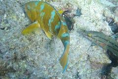 Bluechin parrotfish at Devil's Crown Stock Image