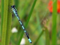 bluecommondamselfly arkivbild