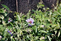 Bluecrown passionflower, Brazilian passionflower, Passiflora caerulea. Climber with deeply palmately lobed leaves and blue flowers with crown of blue and white stock photos