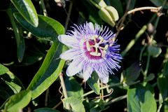 Bluecrown passionflower, Brazilian passionflower, Passiflora caerulea. Climber with deeply palmately lobed leaves and blue flowers with crown of blue and white stock photography