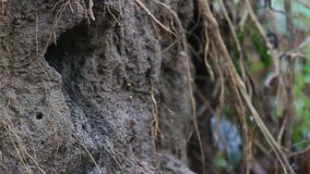 Blued-eared Ijsvogel (male&female) stock video
