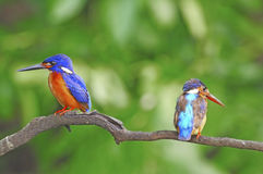 Blued-eared Kingfisher Royalty Free Stock Photos