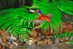 Blued-eared Kingfisher Stock Photos