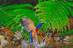 Blued-eared Kingfisher Royalty Free Stock Image