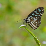 Bluee Glassy Tiger Butterfly Royalty Free Stock Photography