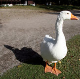 blueeye鸭子 库存图片