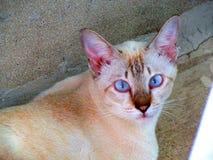 BlueEye-Katze Stockbilder