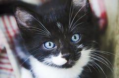 Blueeyed kitty stock photography