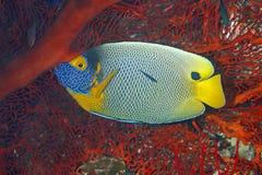 Blueface神仙鱼, Pomacanthus xanthometopon 图库摄影
