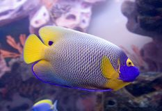 Blueface angelfish 1 Stock Image