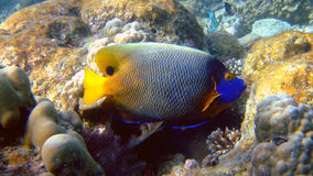 Blueface angelfish, Athuruga, Maldives royalty free stock image