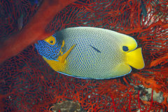Blueface Angelfish, Pomacanthus xanthometopon Στοκ Φωτογραφία