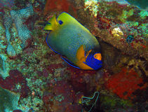 Blueface Angelfish. (Pomacanthus Xanthometopon), aka Yellowface Angelfish, Yellow-masked Angelfish), Maratua, Indonesia Royalty Free Stock Photography