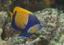 Blueface lub yellowface angelfish nad koralami Bali Zdjęcia Royalty Free