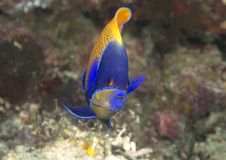 Blueface or yellowface angelfish over corals of Bali royalty free stock photography