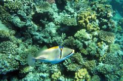 Bluefaced Angelfish Royalty Free Stock Photography