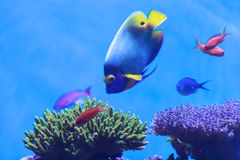 Bluefaced angelfish, Pomacanthus xanthometopon Στοκ εικόνες με δικαίωμα ελεύθερης χρήσης