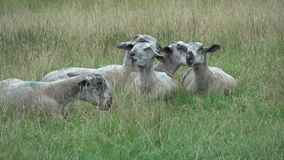 Bluefaced Leicester sheep eating grass stock footage
