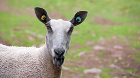 Bluefaced Leicester Sheep Royalty Free Stock Images