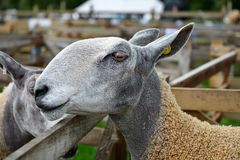 Bluefaced Leicester sheep portrait Stock Images
