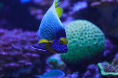 Bluefacedzeeëngel, Pomacanthus xanthometopon stock foto's