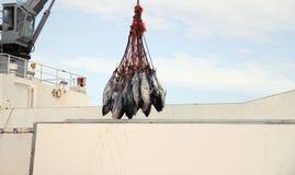 bluefin угрожал туну вида m стоковые изображения rf