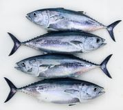 Bluefin four tuna fish Thunnus thynnus catch row