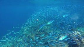 Bluefin jaagt trevally in een grote zwerm van veranderlijk-gevoerde meer fusilier stock videobeelden