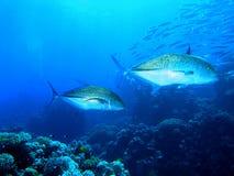 Bluefin Travelly Fotos de Stock Royalty Free