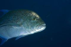 bluefin trevally fotografia stock