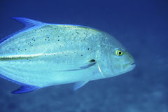 Bluefin Trevally Royalty Free Stock Photo