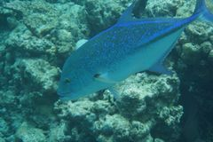 Bluefin trevally Caranx melampygus zdjęcia royalty free