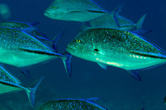Bluefin trevally (caranx melampygus) in the Red Sea. Royalty Free Stock Images