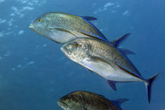 Bluefin trevally (caranx melampygus) in the Red Sea. Royalty Free Stock Image