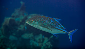 Bluefin trevally Stock Photography