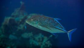 Bluefin trevally Stock Photography