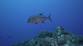 Bluefin trevally Caranx melampygus in Sanbenedicto island from Revillagigedo Archipelago stock video footage
