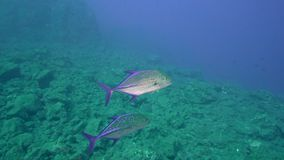 Bluefin trevally Caranx melampygus in Sanbenedicto island from  Revillagigedo Archipelago stock video