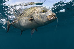 Bluefin trevally caught in ocean with a hook Royalty Free Stock Photo