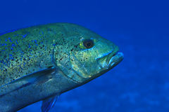 Bluefin trevally fish Royalty Free Stock Image