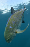 Bluefin trevally fish swimming and its natural habitat Stock Image