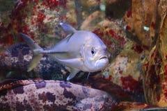 Bluefin trevally Royalty Free Stock Photos