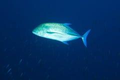 Bluefin trevally (melampygus do Caranx), Maldives Foto de Stock