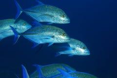 Bluefin trevally ryba zdjęcie stock