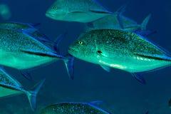 Bluefin trevally w Czerwonym morzu. (caranx melampygus) obrazy royalty free