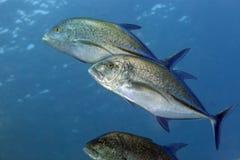 Bluefin trevally w Czerwonym morzu. (caranx melampygus) obraz royalty free