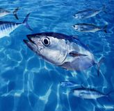 Bluefin tuna fish school underwater Stock Images