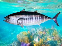Bluefin tuna fish  underwater swimming Royalty Free Stock Photos