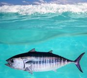 Bluefin tuna fish underwater swimming Royalty Free Stock Images